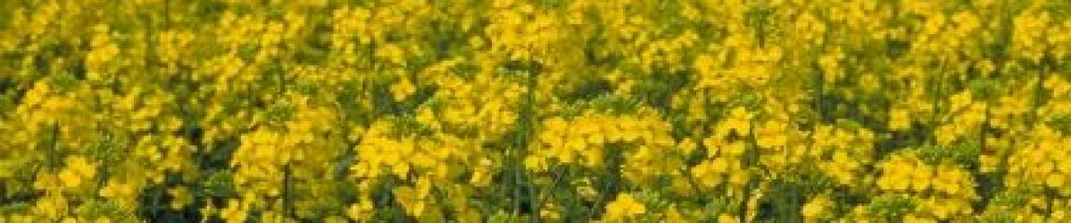 edible-refined-canola-oil
